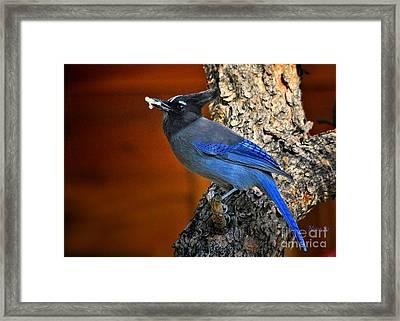 Steller's Jay In Colorado Framed Print by Nava Thompson