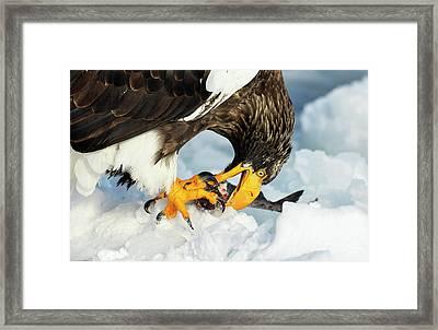 Steller's Sea Eagle Framed Print by Dr P. Marazzi