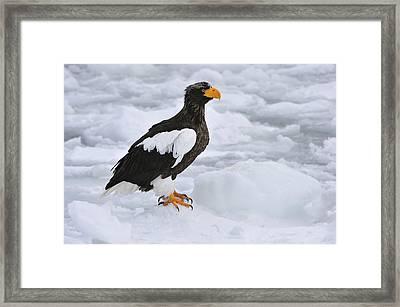 Stellers Sea Eagle Hokkaido Japan Framed Print by Thomas Marent