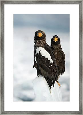 Steller's Sea Eagles Framed Print by Dr P. Marazzi