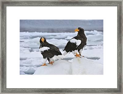 Stellers Sea Eagles Hokkaido Japan Framed Print by Thomas Marent