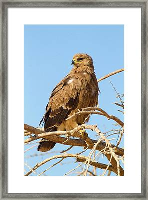 Steppe Eagle (aquila Nipalensis) Framed Print by Photostock-israel