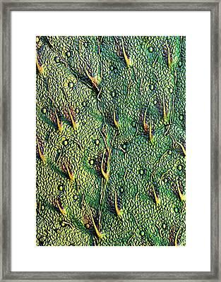 Stevia Leaf Trichomes Framed Print by Stefan Diller
