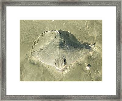 Sting Ray Framed Print by Peter-hugo Mcclure