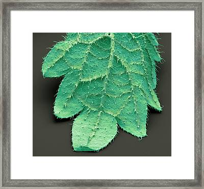 Stinging Nettle Leaf Framed Print by Steve Gschmeissner