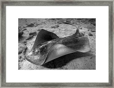 Stingray 2 Framed Print by Joe Quinn