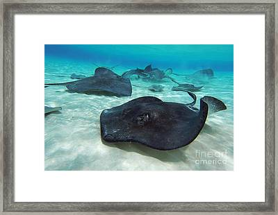Stingrays Framed Print by Carey Chen