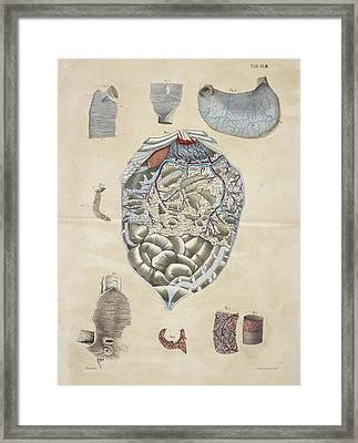 Stomach And Intestines Framed Print by British Library