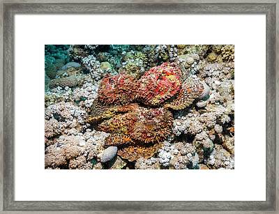 Stonefish Mating Congregation Framed Print by Georgette Douwma