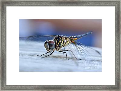 Stop By Tiger Dragon Fly Framed Print by Peggy  Franz
