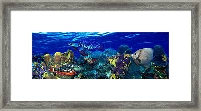 Stoplight Parrotfish Sparisoma Viride Framed Print by Panoramic Images