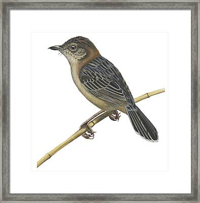 Stout Cisticola Framed Print by Anonymous