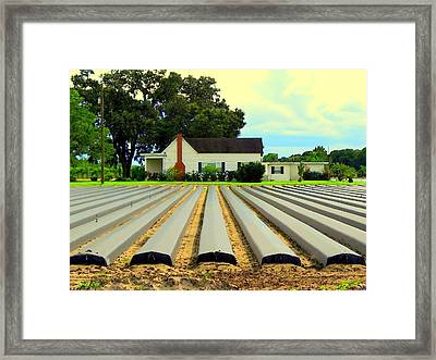 Strawberry Farm Planting Time In Plant City  Framed Print by Buzz  Coe