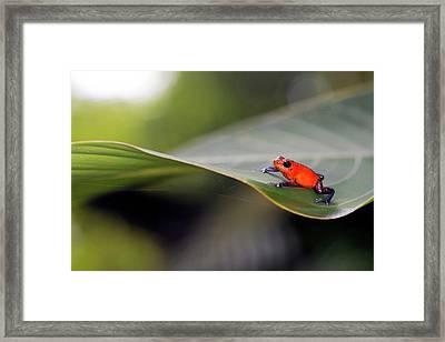 Strawberry Poison Frog Framed Print by Nicolas Reusens