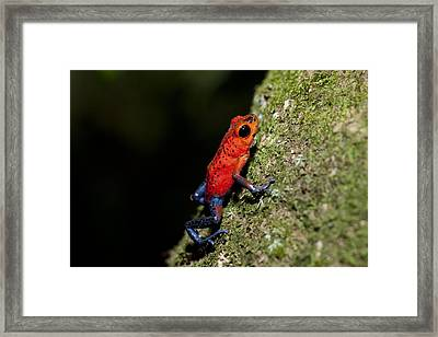 Strawberry Poison Frog Framed Print by Science Photo Library