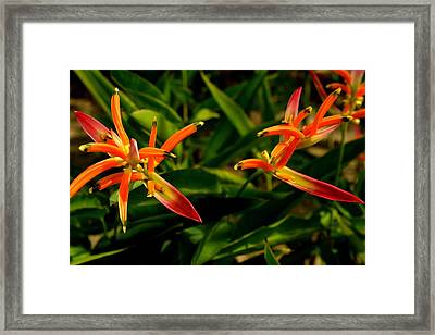 Striking Color Of Heliconia Flowers. Framed Print by Siti  Syuhada