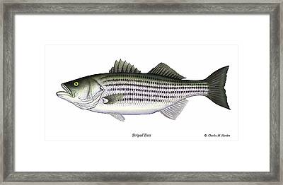 Striped Bass Framed Print by Charles Harden