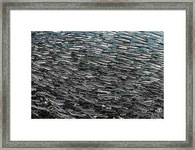 Striped Catfish Framed Print by Ethan Daniels