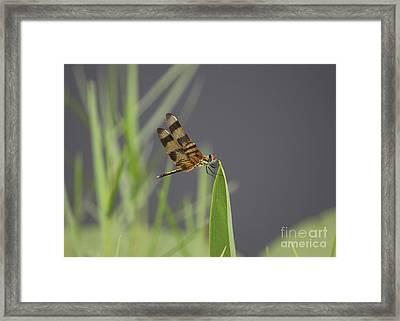 Striped Dragon Fly Framed Print by Cheryl Aguiar