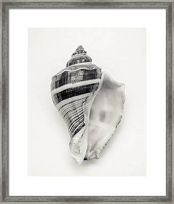 Striped Sea Shell Framed Print by Lucid Mood