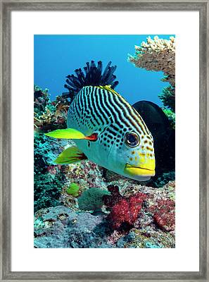 Striped Sweetlips On A Reef Framed Print by Louise Murray
