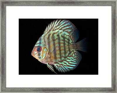 Striped Turquoise Discus Framed Print by Nigel Downer