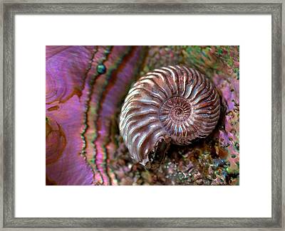 Structural Colour Ammonite Modern Abalone Framed Print by Paul D Stewart