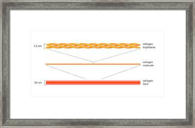 Structure Of Collagen Framed Print by Science Photo Library