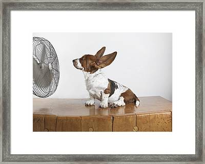 Studio Shot Of A Basset Hound With Fan Framed Print by Sherry Lemcke
