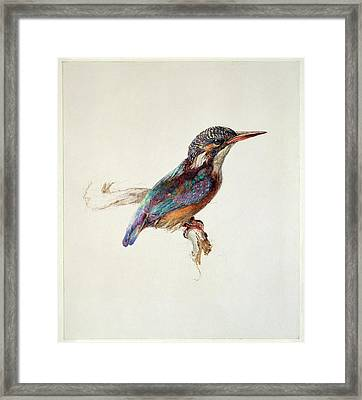 Study Of A Kingfisher Framed Print by Ashmolean Museum/oxford University Images