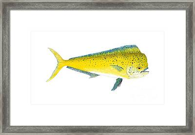 Study Of A Mahi Mahi Framed Print by Thom Glace