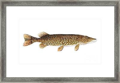 Study Of A Northern Pike Framed Print by Thom Glace