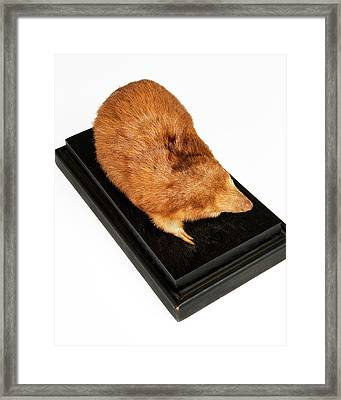 Stuffed Giant Golden Mole Framed Print by Ucl, Grant Museum Of Zoology