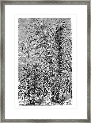 Sugar Cane Experiment Framed Print by Science Photo Library