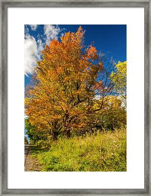 Sugar Maple 3 Framed Print by Steve Harrington