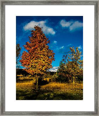 Sugar Maple Framed Print by Randy Scherkenbach