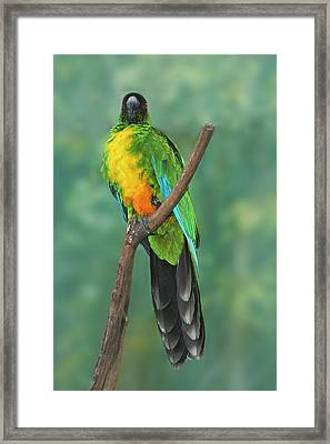 Sulphur-breasted Musk Parrot (prosopeia Framed Print by David Wall