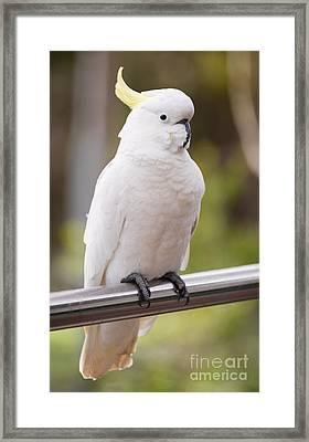 Sulphur Crested Cockatoo Framed Print by Tim Hester