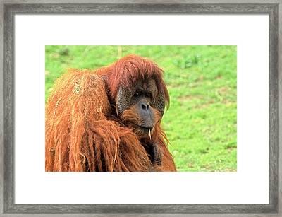 Sumatran Orangutan (pongo Abelii) Framed Print by Photostock-israel
