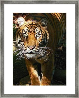 Sumatran Tiger Emerges Framed Print by Margaret Saheed