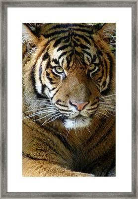 Sumatran Tiger Junior Framed Print by Margaret Saheed