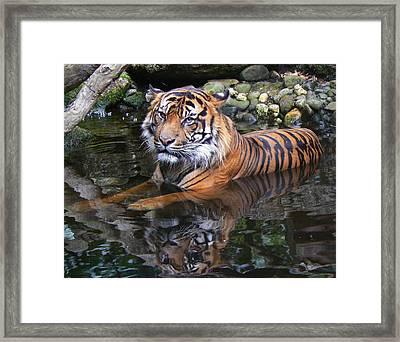 Sumatran Tiger Keeping Cool In Summer Framed Print by Margaret Saheed