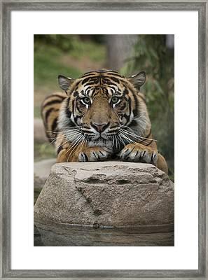 Sumatran Tiger Framed Print by San Diego Zoo