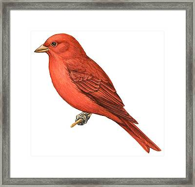 Summer Tanager  Framed Print by Anonymous
