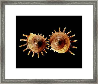 Sun Carrier Shell Sea Snail Shells Framed Print by Gilles Mermet