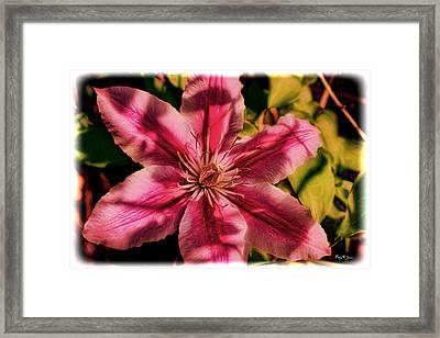 Flower - Bloom - Sun Dappled Clematis Framed Print by Barry Jones