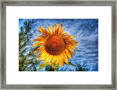 Sun Flower Framed Print by Adrian Evans