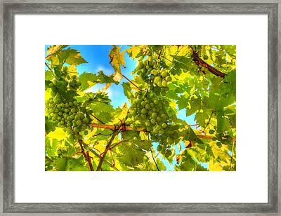 Sun Kissed Green Grapes Framed Print by Eti Reid
