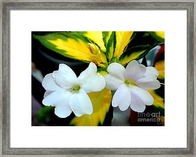 Sun Patiens Spreading White Variagated Framed Print by Kathy  White