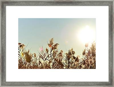Sun Shining Over Reed Grasses Framed Print by Tetyana Kokhanets